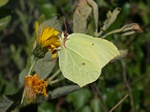 Citronsommerfugl (Gonepteryx rhamni)